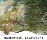 Small photo of Mule deer doe, drinking from the Kaweah River, Sequoia National Park, California.