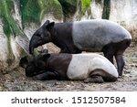 Malayan Tapir Are Standing And...