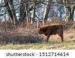 Scottish Highlander Steer Calf...