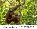 Orangutan From The Island Of...