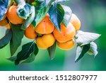 Ripe Persimmons Fruit Hanging...