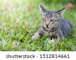 Stock photo kittens on green grass kittens are threatening prey 1512814661