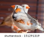 Small photo of Cut-throat Finch - amadina fasciata - bird in cage