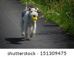 Fox Terrier With Yellow Ball I...