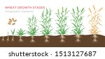 wheat growth stages from seed... | Shutterstock .eps vector #1513127687