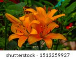 Small photo of Lilium bulbiferum flower bouquet, common names orange lily flower, fire lily, tiger lily. Herbaceous European. Liliaceae family. Green leaves background.Celebration's flower.