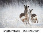 Two Roe Deers Running Away
