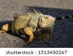Wild Iguana Up Close Walking O...