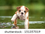 English Bulldog Puppy In The...
