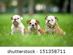 Stock photo three english bulldog puppies sitting in the park 151358711