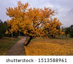 Stock photo curved tree with falling leaves during autumn 1513588961