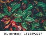 Colorful Croton Leaves  Croton...
