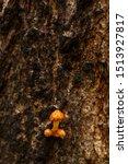 False Honey Mushrooms Grow On ...