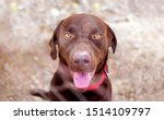 Stock photo close up portrait of caged cute labrador dogs pets pet dog locked captive animal fenced fence 1514109797