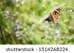 Buckeye Butterfly  On A...