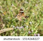 Buckeye Butterfly  Feeding On...