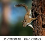 An American Red Squirrel Pauses ...
