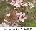 Small photo of Springtime Australian Dingy Ring or Dusky Knight Ypthima arctous butterfly ID on native wildflower leptospernum pink cascade flowers in spring