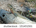 eastern water dragon  australia | Shutterstock . vector #151451501