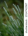 Small photo of Closeup of timothy grass (binomial name: Phleum pratense), is a typical species of the genus Timothy (Phleum) the family of Grasses.