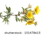 Branch Of Shrubby Cinquefoil...