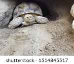 Stock photo sulcata tortoise coming out his burrow 1514845517