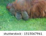 Male Orangutan   Pongo Pygmaeu...