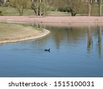 An American Coot Swimming In...