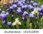 Flowers Of Bearded Iris On A...