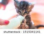 Stock photo little gray kitten drinks milk from a bottle feeding kittens without a nursing cat kittens on 1515341141