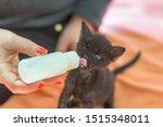 Stock photo little gray kitten drinks milk from a bottle feeding kittens without a nursing cat kittens on 1515348011