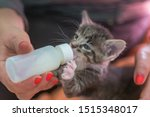Stock photo little gray kitten drinks milk from a bottle feeding kittens without a nursing cat kittens on 1515348017