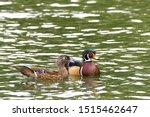 Male And Female Wood Ducks ...