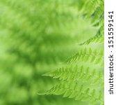 Fresh Green Fern Leaves In The...