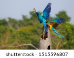 Two Blue And Yellow Macaw On A...
