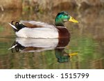 it is a real duck in the water | Shutterstock . vector #1515799