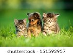 Stock photo toy terrier puppy between kittens 151592957
