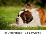 Big Saint Bernard Dog With...