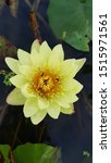 Nuphar Lutea Yellow Waterlily...
