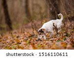 Purebred Tricolor Jack Russell...