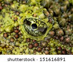 The mossy frog theloderma...