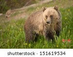 Grizzly At Lake Louise