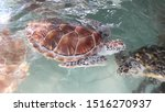 The hardness of the sea turtle...