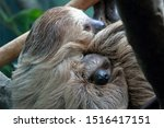 Sloth Mother Cuddling A Baby