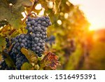 Blue Grapes At Sunset In Autumn ...