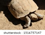 Stock photo close up of african spurred tortoise centrochelys sulcata also called the sulcata tortoise 1516757147