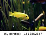Small Yellow Saltwater Fish In...