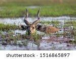 Male Sitatunga Antelope Hiding...