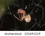 Small photo of Linyphiidae sp. spider eats an ant