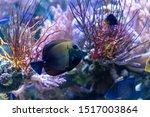 Small photo of Aberrant scopas tang(Zebrasoma scopas) rare ornamental marine fish